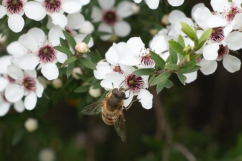 miel de manuka y helicobacter pylori foro