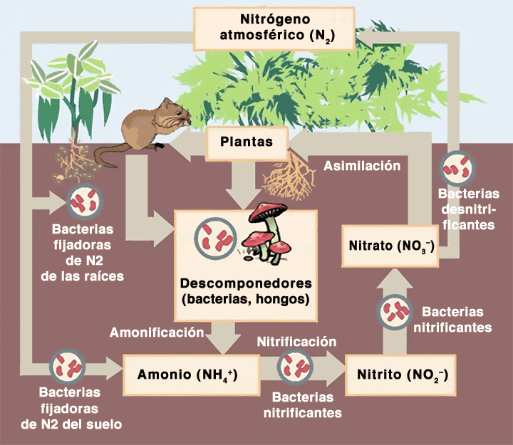 proceso de obtencion nitrogeno plantas
