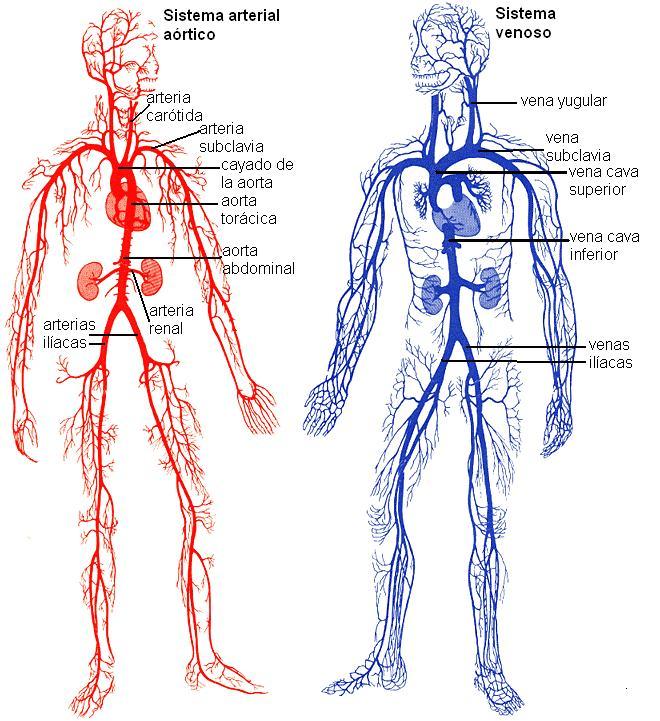 sistema venoso arterial, aorta